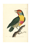 Versicoloured Barbet, Eubucco Versicolor Giclee Print by Richard Nodder