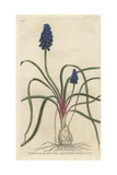 Starch Hyacinth, Muscari Neglectum Giclee Print by James Sowerby