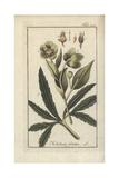 Stinking Hellebore, Helleborus Foetidus Giclee Print