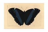 Achilles Morpho Butterfly Variety, Morpho Achilles Var Giclee Print by Richard Nodder