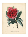 Indian Tree Rosebay, Rhododendron Arboreum Giclee Print by M.A. Burnett