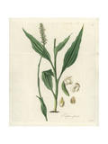Tall Goodyera Orchid, Goodyera Procera Giclee Print by William Jackson Hooker