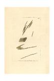 Bacillaria Paxillifera Algae Giclee Print by George Shaw
