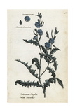 Wild Succory or Chicory, Cichorium Intybus Giclee Print