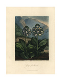 Auriculas from the Temple of Flora, 1812 Giclee Print by Philip Reinagle