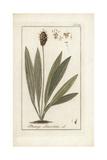 English Plantain, Plantago Lanceolata Giclee Print