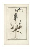 English Lavender, Lavandula Angustifolia Giclee Print