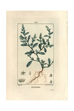 Knotgrass, Polygonum Aviculare Giclee Print by Pierre Turpin