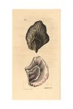 Peronian Aplysia, Aplysia Peroniana Giclee Print by Richard Nodder