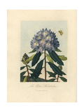 Pontic Rhododendron, Rhododendron Ponticum Giclee Print by Peter Henderson