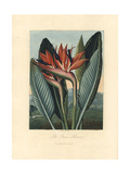 The Queen Flower, Strelizia Reginae Giclee Print by Philip Reinagle