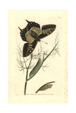 Old World Swallowtail Butterfly, Papilio Machaon Giclee Print by Richard Nodder