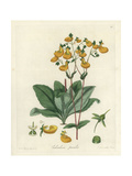 Slipper Flower, Calceolaria Corymbosa Giclee Print by William Jackson Hooker