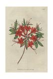 Scarlet Azalea, Rhododendron Calendir Laceum Giclee Print by Sydenham Edwards