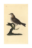 Song Thrush, Turdus Philomelos Giclee Print by Edward Donovan