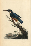 Common Kingfisher, Alcedo Atthis Reproduction procédé giclée par Edward Donovan