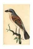 Red-Backed Shrike, Lanius Collurio Reproduction procédé giclée par George Shaw
