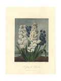 Group of Hybrid Hyacinths Giclee Print by Sydenham Edwards