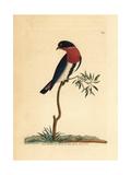 Swallow Warbler, Dicaeum Hirundinaceum Giclee Print by Frederick Nodder