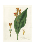 Indian Shot, Spotted Flowered Variety, Canna Indica Giclee Print by William Jackson Hooker