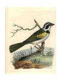 White-Browed Brush Finch, Arremon Torquatus Giclee Print by Richard Nodder