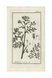 Noble Yarrow, Achillea Nobilis Giclee Print
