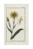 Viper's Grass, Scorzonera Humilis Giclee Print
