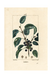 Purging Buckthorn, Rhamnus Cathartica Giclee Print by Pierre Turpin