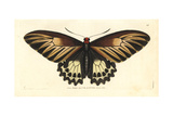 Oblong-Spotted Birdwing, Troides Oblongomaculatus Giclee Print by George Shaw