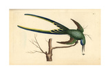 Fork-Tailed Hummingbird, Trochilus Forficatus Giclee Print by Frederick Nodder