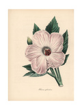 Splendid Hibiscus, Hibiscus Spendens Giclee Print by M.A. Burnett