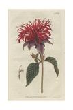 Crimson Monarda, Monarda Didyma Giclee Print by Sydenham Edwards