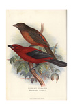 Scarlet Tanager, Piranga Olivacea Impression giclée par Frederick William Frohawk