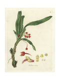 Flame Orchid or Scarlet Ornithidium, Ornithidium Coccineum Giclee Print by William Jackson Hooker