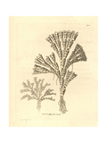 Dilated Corraline from Shaw and Nodder's -Naturalist's Miscellan Giclee Print by Richard Nodder