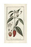 Chili or Bell Pepper, Capsicum Annuum Giclee Print