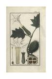 Thorn Apple, Datura Stramonium Giclee Print