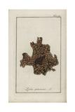 Lungwort Lichen, Lobaria Pulmonaria Giclee Print