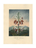 Tankerville's Limodorum, Phaius Tankervilleae Giclee Print by Philip Reinagle