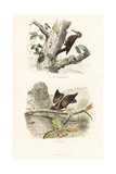 Treecreeper and Wryneck Giclee Print by Edouard Travies