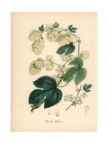 Hops, Humulus Lupulus Giclee Print by M.A. Burnett