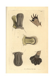 Duck-Billed Platypus, Ornithorhynchus Anatinus Giclee Print by George Shaw
