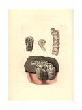 Coronulid Barnacles, Tubicinella Major Giclee Print by Richard Nodder