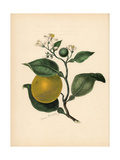Sweet Orange, Citrus Aurantium Giclee Print by M.A. Burnett