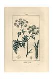 Poison Hemlock, Conium Maculatum Giclee Print by Pierre Turpin
