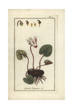 Ivy-Leaved Cyclamen, Cyclamen Hederifolium Giclee Print