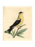 American Goldfinch, Carduelis Tristis Giclee Print by Richard Nodder