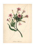 Tobacco, Nicotiana Tobacum Giclee Print by M.A. Burnett