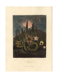 Varieties of Carrion Plants, Stapelia Species Giclee Print by Peter Henderson