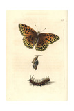 Silver-Washed Fritillary, Argynnis Paphia Giclee Print by Richard Nodder